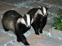 Badgers Walking on Pavement Image - Science for Kids All About Badgers