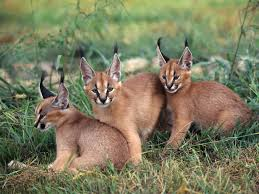 Fun Caracals Quiz – FREE Online Quiz for Kids with Score Game