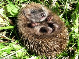 Hedgehog Sleeping Image