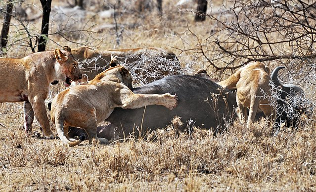 Four lionesses catching a cape buffalo