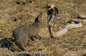 Mongooses – The Snakes Eaters