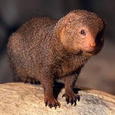 Fun Mongooses Quiz – FREE Online Science Quizzes for Children
