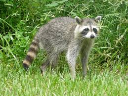 Raccoon Standing Image - Science for Kids All About Raccoons