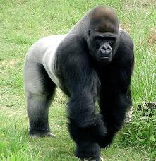 Silverback Gorilla Image - All About Gorillas Fun Science Facts