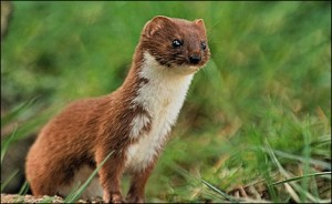 Close Up of a Weasel Image - Science for Kids All About Weasels