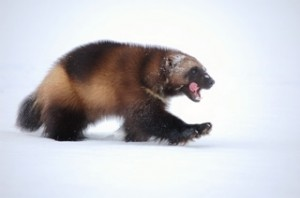 Wolverine Walking on Snow Image - Science for Kids All About Wolverines