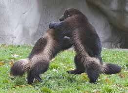 Wolverines Fighting Image