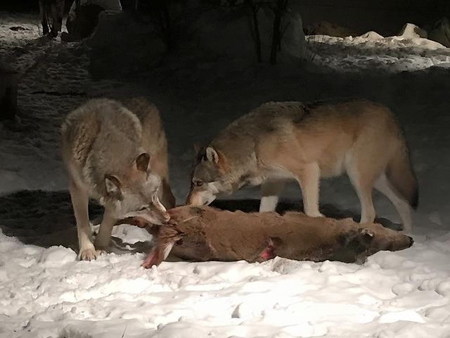 Two wolves feeding on a white-tailed deer