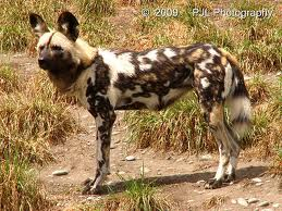 African Hunting Dog Image