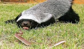Badger Fighting a Snake Image