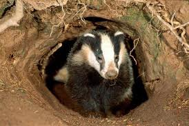 Fun Badgers Quiz – FREE Online Interactive Science Quiz