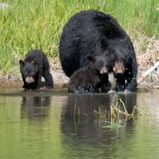 Black Bears by the Water Image - Science for Kids All About Black Bears