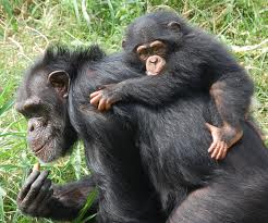 Chimpanzee Mother Carrying her Baby on her Back Image