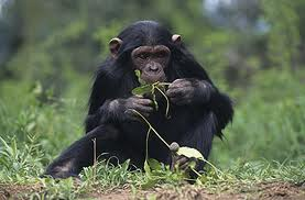 Chimp Chewing on Leaves Image