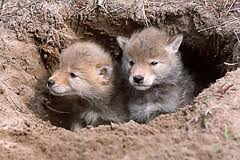 Coyote Pups in the Den Image