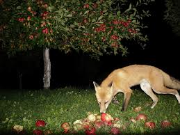 Coyote Eating Fruits Image