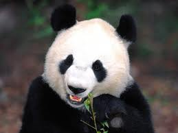 Giant Panda Smiling Image - Science for Kids All About Giant Pandas