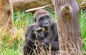 Gorilla Eating Food Image - Science for Kids All About Gorillas