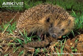 Hedgehog Eating a Snake Image