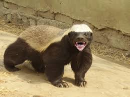 Angry Honey Badger Image