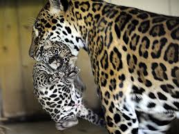 Jaguar Mother and her Cub Image
