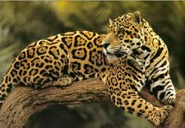 A Jaguar on a Tree Branch Image - Science for Kids All About Jaguars