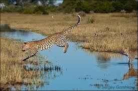 Leopard Jumping over Water Image