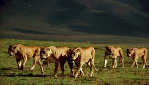 Lion prides - group of lions image