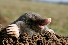 Mole Digging Out of the Dirt Image