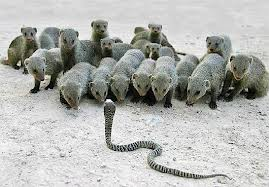 A Pack of Mongoose Against a Snake Image