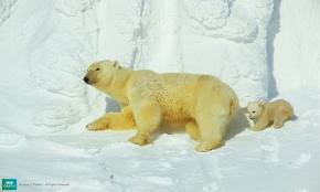 Mother Polar Bear with her Cub on Ice Image - Science for Kids All About Polar Bears