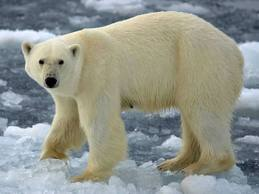 Polar Bears – The Biggest Bears