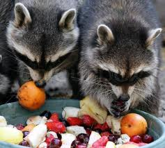 Raccoons Eating Fruit Image
