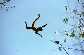 A Spider Monkey Jumping Image