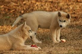 Wolf Dogs in the Field Image