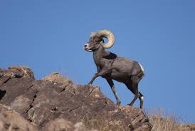 Bighorn Sheep on a Rock Image - Science for Kids All About Bighorn Sheep