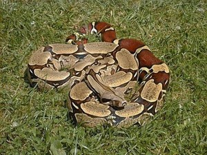 Boa Constrictor on the Grass Image - Science for Kids All About Boa Constrcitors