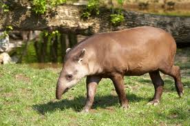 Fun Tapirs Quiz – FREE General Knowledge Quiz for Kids Online