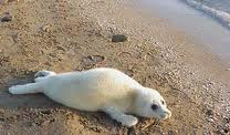 Caspian Seal on the Sand Image