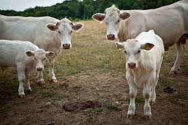 Fun Cattle Family Quiz – FREE Interactive Science Quiz for Kids