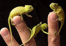 Three Chameleons Holding on to Fingers Image - Science for Kids All About Chameleons