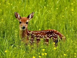 A Deer in the Meadow Image - Science for Kids All About Deer