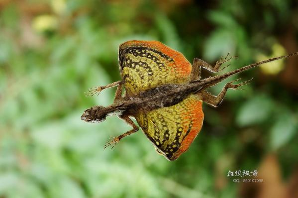 Flying Dragons or Draco Lizards – The Lizards That Can Fly
