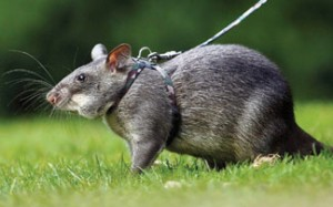 A Big Gambian Pouch Rat on a Leash Image