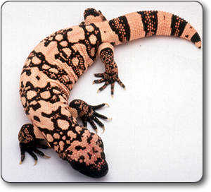 Gila Monster Word Game – Free Science Printable Word Search Activity Sheet