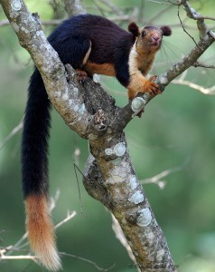 Indian Giant Squirrel on a Tree Image