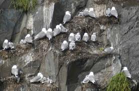 A Colony of Kittiwakes Image