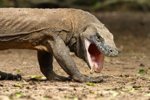 AKomodo Dragon with Opened Mouth Image - Science for Kids All About the Komodo Dragon