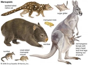 Different Kinds of Marsupials Image - Science for Kids All About Marsupials