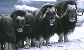Musk Oxen – All You Need To Know